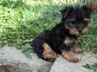 AKC Yorkie Puppies Friendly Trained Our puppies are