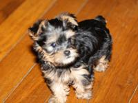 I have Two AKC Yorkie Puppies ready to go to their