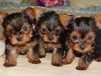 Healthy AKC Yorkie puppies ready to go now ... We have