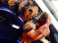 I have a litter of lovable purebred AKC yorkie young