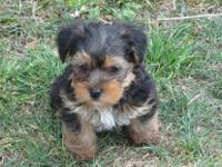 We have up for adoption 5 beautiful yorkie puppies. 4