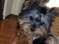 AKC Yorkie Male puppy. UTD on all vaccines and