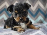 Romeo is a handsome AKC Yorkshire Terrier puppy. He is