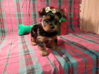 Dayne AKC Yorkie Puppy 750.00 Dayne is a sweet little