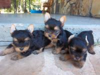 I have a beautiful AKC Yorkie female. She is ready to