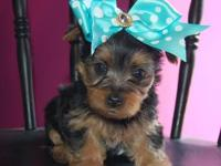 Buddy is a sweet AKC Yorkshire Terrier Male - He is our