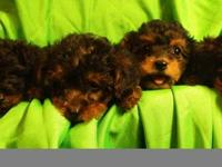 ADORABLE YORKIE PUPPIES - AKC, shots, worming, tails