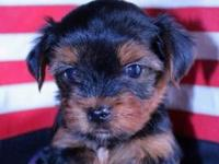 Cute AKC Yorkie Male Puppy and Female young puppy for