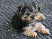 I have a AKC Yorkie Puppy ready to go to his new home