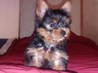 I have3 butiful male Yorkie pups 9 week old AKC First
