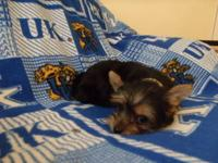 AKC Registered Yorkie Pups. They were born on March 23,