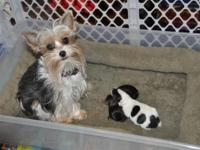 Little Munchkins Yorkies Mary 4LB and Toto 4LB pups