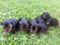 We have a litter of 5 male Yorkie pups for sale, sweet