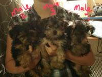 I have 4 Yorkie male pups born April 5 2015. Mom is 6