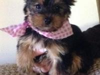 AKC Yorkie Pups males $495 female $695, definitely