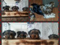 I am accepting deposits on akc Yorkie dogs born October