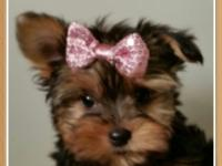 AKC yorkie tea cup, females.baby and male shot and
