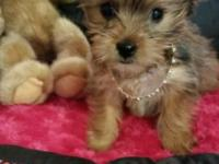 Suzy cute golden yorkie approximately date on vaccines