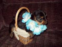 Adorable AKC registered Yorkie puppies, these puppies