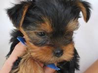 Toto is our AKC Yorkshire Terrier with cute teddy bear