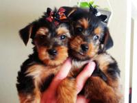 We our selling two 8 week old male yorkie puppies. Our