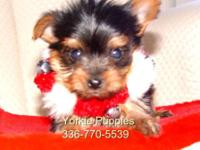 AKC signed up female Yorkie puppy. 8 weeks old. Teacup