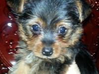 VET CHECKED ... AKC Yorkie Yorkshire Terrier young