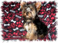 Little Raisin is an AKC registered Yorkshire Terrier
