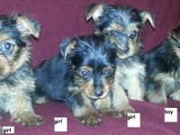 AKC Full registration. Yorkie Yorkshire Terrier young