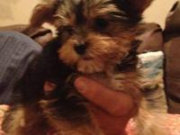 Yorkshire Terrier puppies 2 males 8 Weeks old, born