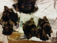 AKC Yorkies for sale have both parents...... with