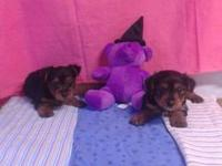 AKC Yorkies ready to go. Have had their.first shots and