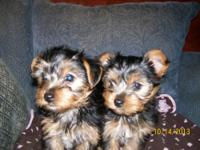 Two Adorable Purebred Yorkies!! Born Aug. 15th.These