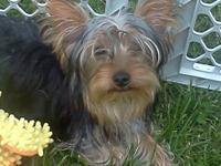 I have two AKC Yorkshire Terrier puppies with