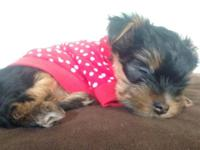 AKC Yorkie Puppies. * 8 weeks old. * 2 Males. * Born