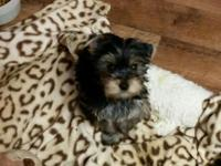 Yorkie pups, males and 1 female. Vaccinations and