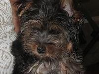 ! have 3 beautiful AKC yorkie pups / 1 is 2.5 months