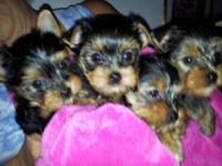 Female Yorkies For Sale In Tennessee Classifieds Buy And Sell In