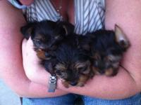 AKC Yorkies for sale. Must see to believe. 3 months old