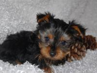 Yorkies are a little sweet but mischeivious breed.He is