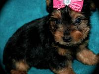 Adorable, tiny, AKC Yorkies girls! Raised in home, part