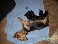 I have AKC puppies 3 males and 1 females Parents are