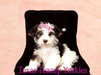 Yorkies they are 8 weeks old, registered AKC, UTDS,