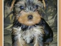 Two AKC Yorkie puppies ready will be 8 weeks old and