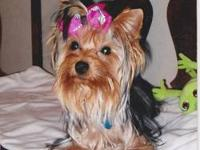 Parti Yorkie Pets And Animals For Sale In Dayton Ohio Puppy And