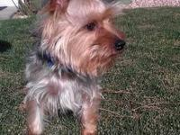 I have a 3 year old , 4lb male Yorkie. He is AKC