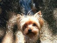Male AKC Yorkshire Terrier imported from Belgium. 7