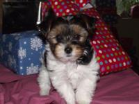 AKC Beautiful Parti Color Male Yorkie,8 weeks old. born