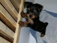 We have 3 AKC Yorkies, that come with FULL AKC