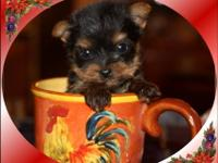 AKC litter of Yorkshire Terrier Puppies. Puppies are